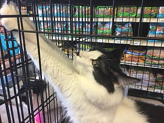 Domestic Mediumhair Cat for adoption in Gilbert, Arizona - Whiskers