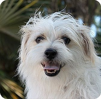 Terrier (Unknown Type, Medium)/Shih Tzu Mix Puppy for adoption in Davie, Florida - Baby Theodore