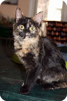 Domestic Mediumhair Kitten for adoption in Arlington, Virginia - Friday