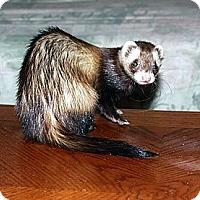 Adopt A Pet :: Miko - Buxton, ME