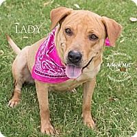 Adopt A Pet :: Lady - Gilbert, AZ