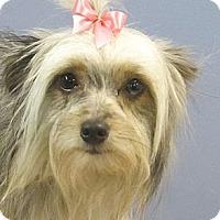 Adopt A Pet :: Allie - Brattleboro, VT