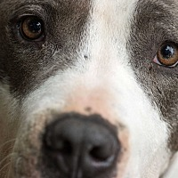 American Staffordshire Terrier/English Bulldog Mix Dog for adoption in Madison, Wisconsin - Blue Boy