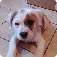Adopt A Pet :: Gedeon - Rocky Mount, NC