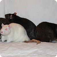 Adopt A Pet :: Snowy, Gus, Ash, Jacques - Greenwood, MI