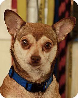 Chihuahua Dog for adoption in Pompano Beach, Florida - Carla