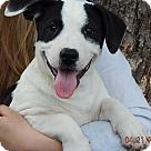 Adopt A Pet :: Orion (18 lb) New Pics & Video