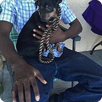 Adopt A Pet :: Arif - Las Vegas, NV