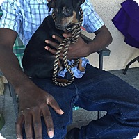 Chihuahua Dog for adoption in Las Vegas, Nevada - Arif