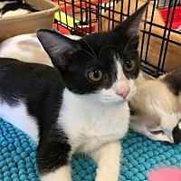 Domestic Mediumhair Cat for adoption in Lakewood, California - MOCHI