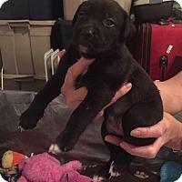 Adopt A Pet :: Sofia - Burlington, NJ