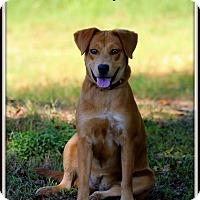 Labrador Retriever/Chow Chow Mix Dog for adoption in Dixon, Kentucky - Darcy