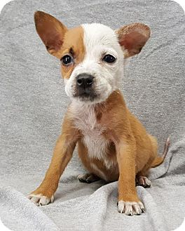 Boxer Mix Puppy for adoption in Champaign, Illinois - Little Dipper