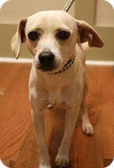 Beagle/Labrador Retriever Mix Dog for adoption in Chester Springs, Pennsylvania - Ralph