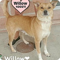 Adopt A Pet :: Willow - Orleans, VT