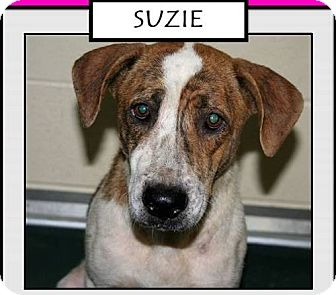 Retriever (Unknown Type) Mix Dog for adoption in Silver Spring, Maryland - SUZIE