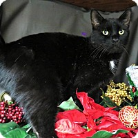 Domestic Shorthair Cat for adoption in Herndon, Virginia - Andy