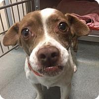 Adopt A Pet :: Stanley - Westminster, CA