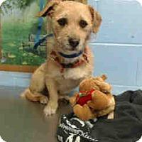 Jack Russell Terrier/Terrier (Unknown Type, Small) Mix Dog for adoption in San Bernardino, California - URGENT ON 12/6  San Bernardino