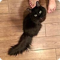 Domestic Mediumhair Cat for adoption in Glendale, Arizona - Fiona