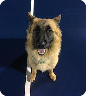 Belgian Malinois/German Shepherd Dog Mix Dog for adoption in Seattle, Washington - Duke
