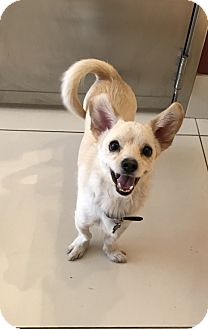 Terrier (Unknown Type, Small)/Dachshund Mix Dog for adoption in Los Angeles, California - MOA