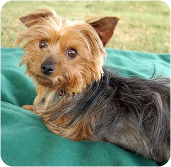 yorkie rescue missouri jada adopted dog kansas city mo yorkie yorkshire 5539