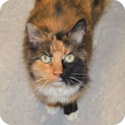 Domestic Mediumhair Cat for adoption in Gilbert, Arizona - Callie
