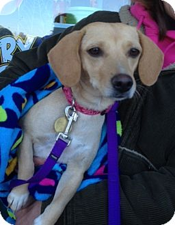 Beagle/Dachshund Mix Dog for adoption in Richmond, Virginia - Dolly