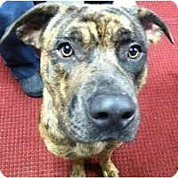 Adopt A Pet :: DUFFY - Dennis, MA