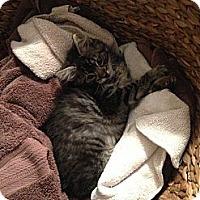 Adopt A Pet :: Lil Man - Harvey, LA