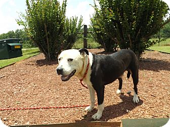 American Pit Bull Terrier Mix Dog for adoption in Thomaston, Georgia - Burkett