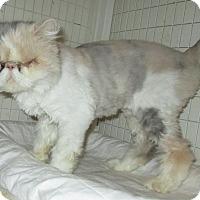 Adopt A Pet :: Clarissa - Gilbert, AZ