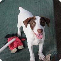 Adopt A Pet :: Scooby - Hartford, VT