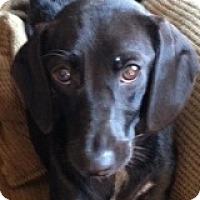 Adopt A Pet :: Sasha Williams - Houston, TX