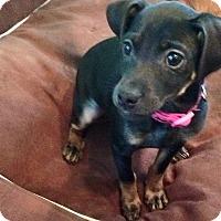 Adopt A Pet :: Roxy - North Brunswick, NJ