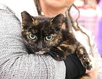 Domestic Shorthair Cat for adoption in Westchester, California - Emily