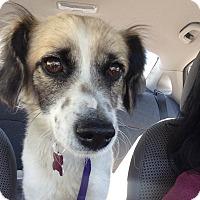 Adopt A Pet :: Scooter - Encino, CA