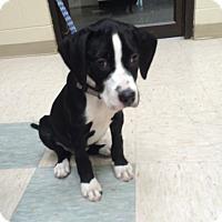 Adopt A Pet :: Beau - Elyria, OH