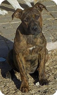 American Staffordshire Terrier Mix Dog for adoption in Peralta, New Mexico - **PIQUIN