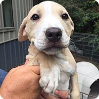 Adopt A Pet :: Janora - Cashiers, NC