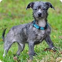 Adopt A Pet :: Buster-ADOPTION PENDING - Boulder, CO