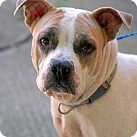 Adopt A Pet :: Roxy - Pottsville, PA