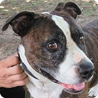 Adopt A Pet :: Brutis - Port Jervis, NY