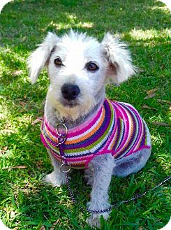Maltese/Terrier (Unknown Type, Small) Mix Dog for adoption in San Diego, California - SOPHIA