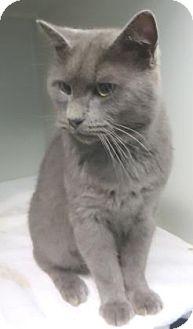 Domestic Shorthair Cat for adoption in Lincolnton, North Carolina - Smokey Robinson $20