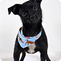 Adopt A Pet :: Colt - Palmyra, PA