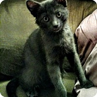 Russian Blue Kitten for adoption in Hewitt, New Jersey - Goose Adoption Pending Congrats Johnston Family!
