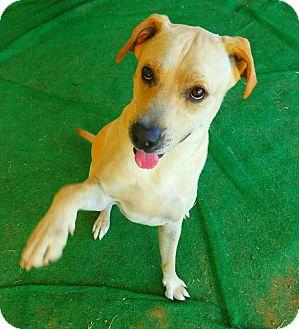 Labrador Retriever Mix Dog for adoption in Graceville, Florida - Trooper #2