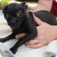 Chihuahua Mix Dog for adoption in Waco, Texas - Candy Apple